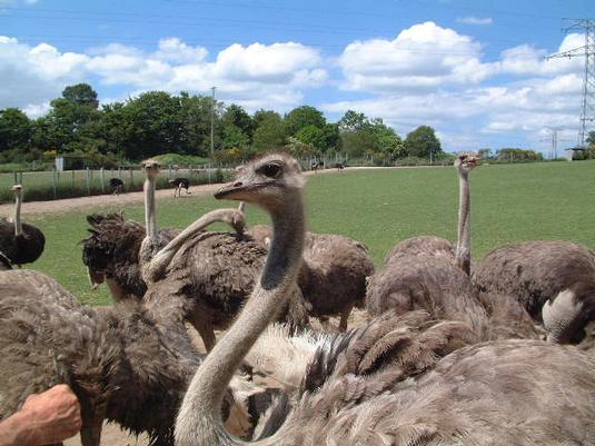 parc-animalier-ferme-d-autruches-de-la-saudraye-guidel